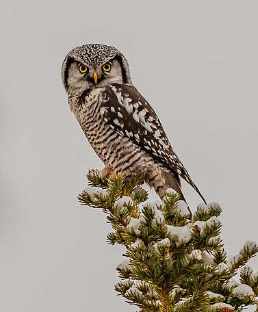 Boreal Forest「The Northern Hawk-Owl (Surnia ulula), or Northern Hawk Owl in North America, is a non-migratory owl that usually stays within its breeding range, though it sometimes irrupts southward. It is one of the few owls that is not nocturnal or crepuscular. This i」:スマホ壁紙(15)