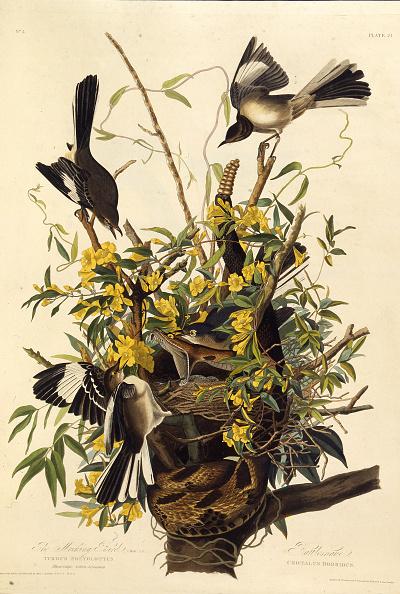 Songbird「The Northern Mockingbird From 'The Birds Of America'」:写真・画像(11)[壁紙.com]