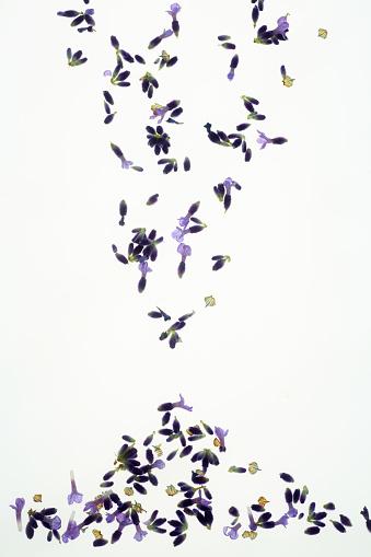 Fallen leaves「Falling fragrant lavender florets on white background.」:スマホ壁紙(14)