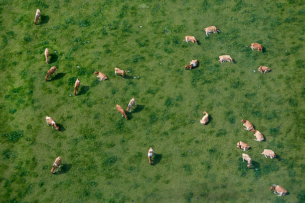 Aerial view of cows grazing:スマホ壁紙(壁紙.com)