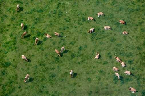 Cow「Aerial view of cows grazing」:スマホ壁紙(13)