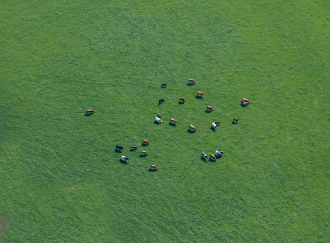 Grazing「Aerial view of cows in field」:スマホ壁紙(13)