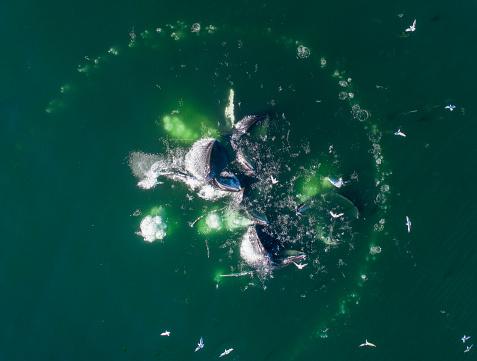 Humpback Whale「Aerial View of Humpback Whales Bubble Net Feeding, Alaska」:スマホ壁紙(17)