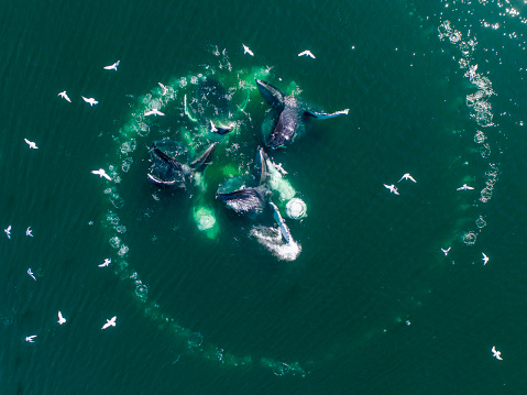 Humpback Whale「Aerial View of Humpback Whales Bubble Net Feeding, Alaska」:スマホ壁紙(18)