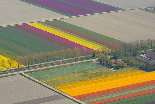 Netherlands「Aerial view on tulip flowers fields growing in spring」:スマホ壁紙(1)