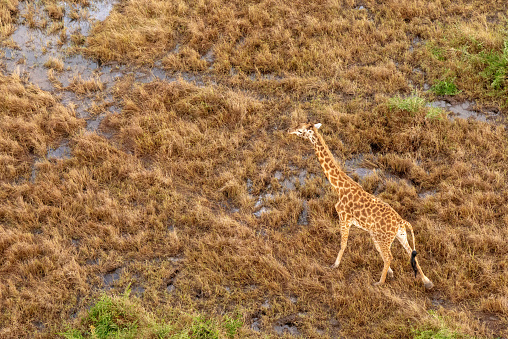 Giraffe「Aerial view of a Giraffe on the run, Masai Mara, Kenya」:スマホ壁紙(2)