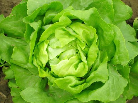 Appetizer「Aerial view of a green lettuce head」:スマホ壁紙(11)