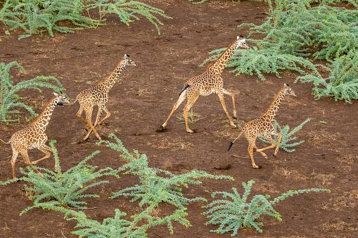 Giraffe「Aerial View of Giraffe Herd in Shompole Conservancy, Kenya」:スマホ壁紙(3)