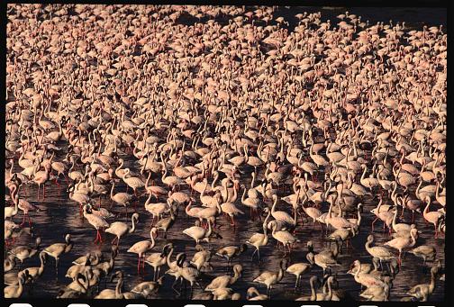 Lake Bogoria National Park「Aerial View of Lesser Flamingo at Lake Bogoria」:スマホ壁紙(11)