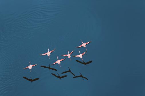 Bird「Aerial view of Lesser Flamingo (Phoenicopterus minor) flying over Lake Magadi, Rift Valley, Kenya, Africa」:スマホ壁紙(16)