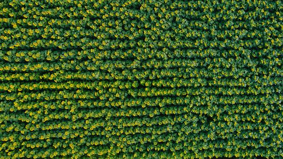 ひまわり「田舎のひまわり畑の空撮」:スマホ壁紙(6)