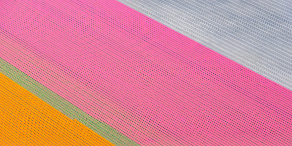 Netherlands「Aerial view on fields of orange and pink tulip flowers growing in spring in Holland」:スマホ壁紙(8)