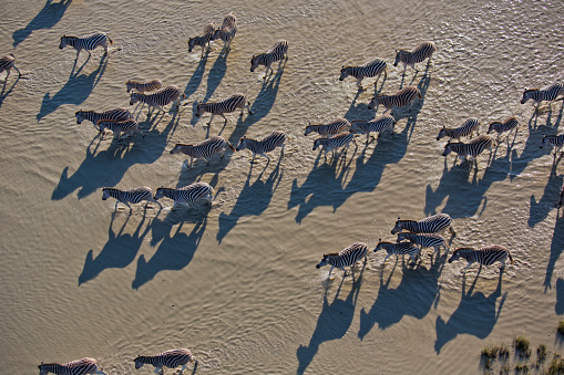 Drinking「Aerial view of a herd of migrating Burchell's zebras (Equus burchelli) standing and drinking at the Makgadikgadi Pans, Botswana」:スマホ壁紙(12)