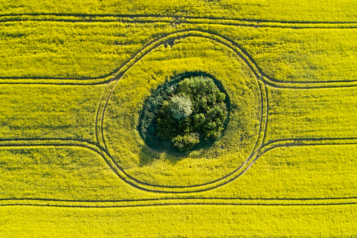 Crop - Plant「Aerial view of oilseed rape field with trees inside, springtime. Mecklenburg-Vorpommern, Mecklenburg Western Pomerania, Germany.」:スマホ壁紙(8)