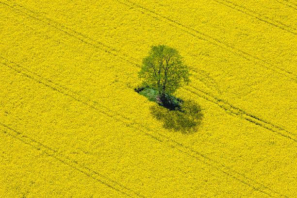 Aerial View of Oilseed Rape Field located in Germany:スマホ壁紙(壁紙.com)