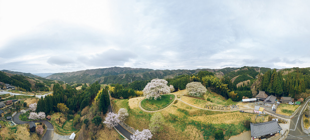 Drone Point of View「Aerial view of a 1000 year old Japanese cherry blossom tree」:スマホ壁紙(12)