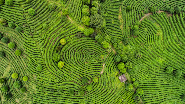 Aerial view of Tea fields:スマホ壁紙(壁紙.com)