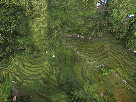 Balinese Culture「Aerial view of the Tegallalang Rice Terrace」:スマホ壁紙(7)