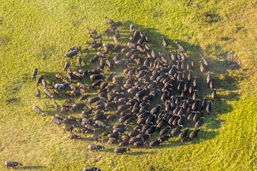 Walking「Aerial view African buffalo herd, Okavango Delta」:スマホ壁紙(9)