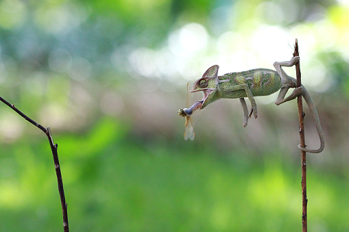 Animals Hunting「Chameleon catching an insect, Indonesia」:スマホ壁紙(10)