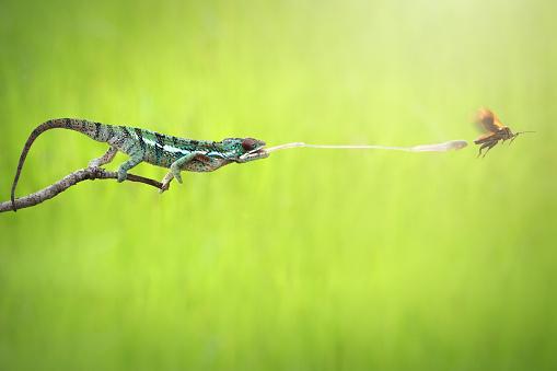 Animals Hunting「Chameleon catching prey, Indonesia」:スマホ壁紙(10)