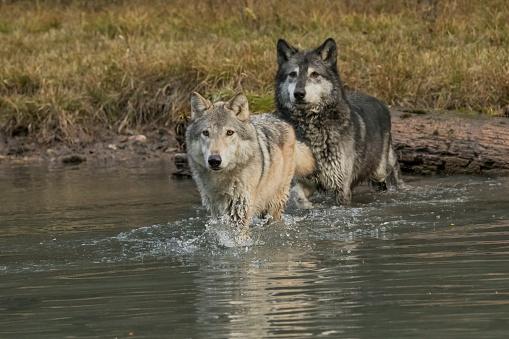 狼「Two Gray Wolves (Canis lupus) crossing stream, Montana, USA」:スマホ壁紙(7)