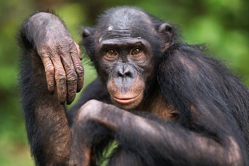 Watching「Bonobo young female 'Sankuru' portrait」:スマホ壁紙(2)