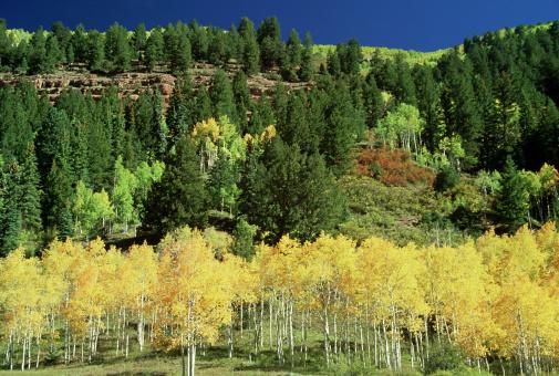 Uncompahgre National Forest「quaking aspen, populus tremuloides, autumn colour, uncompahgre nf,co,usa」:スマホ壁紙(1)