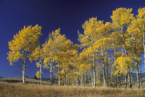 Aspen Tree「quaking aspen populus tremuloides autumn colour yellowstone n.p., usa」:スマホ壁紙(11)