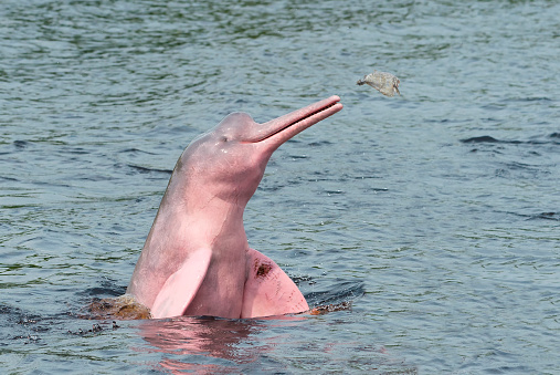 Animals Hunting「Amazon River Dolphin」:スマホ壁紙(9)