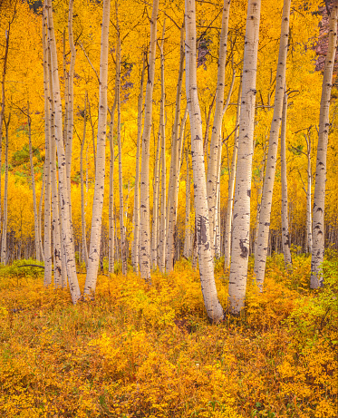 Aspen Tree「Golden autumn aspen trees in the San Juan National Forest, Colorado」:スマホ壁紙(5)