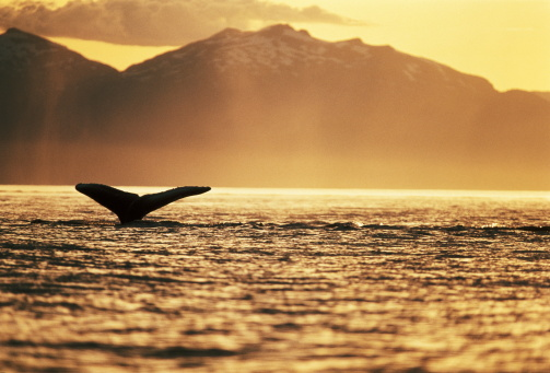 クジラ「Tail of humpback whale above water, silhouette in sunset, Alaska, USA」:スマホ壁紙(16)