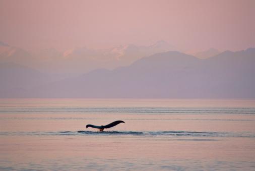 クジラ「Tail of Humpback whale (Megaptera novaeangliae), sunset」:スマホ壁紙(15)
