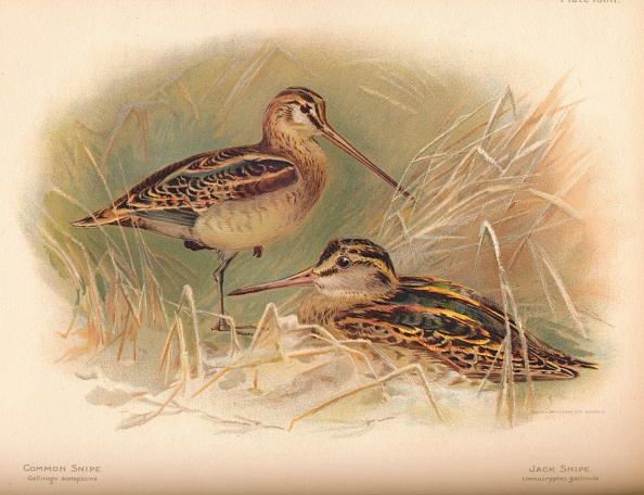 Beak「'Common Snipe (Gallinago scolopacina), Jack Snipe (Limnocryptes gallinula)', 1900, (1900)」:写真・画像(18)[壁紙.com]