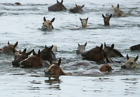 Horse「Assateague Wild Ponies Make Annual Swim To Chincoteague Island」:写真・画像(11)[壁紙.com]