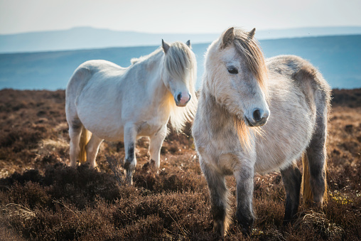 Tousled Hair「Wild ponies on heathery mountain moorland Brecon Beacons National Park」:スマホ壁紙(4)