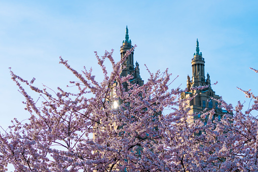 桜「Sunset illuminates Cherry blossoms in Central Park, and The San Remo Twin Tower in Central Park West Historic District at New York.」:スマホ壁紙(0)