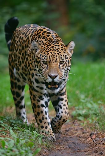 Approaching「approaching jaguar」:スマホ壁紙(18)