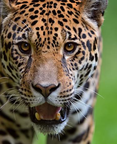 Approaching「approaching jaguar」:スマホ壁紙(14)