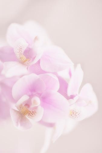 花「Digitally enhanced image of pink phalaenopsis orchid in bloom」:スマホ壁紙(1)
