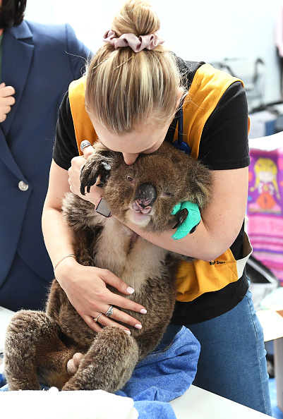 Animal「Labour Leader Anthony Albanese Visits Adelaide Koala Rescue」:写真・画像(18)[壁紙.com]