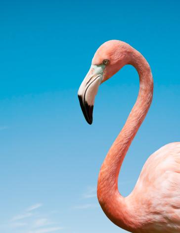 Bird「Flamingo with blue sky」:スマホ壁紙(16)