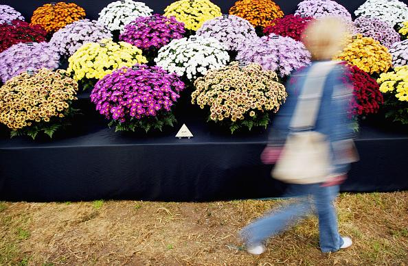 Violet - Flower「Garden Enthusiasts Flock To Hampton Court Flower Show」:写真・画像(19)[壁紙.com]