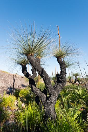 Durability「Grass Trees, D'Entrecasteaux National Park, Western Australia, Australia.」:スマホ壁紙(6)