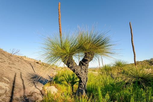 Durability「Grass Trees, D'Entrecasteaux National Park, Western Australia, Australia.」:スマホ壁紙(11)