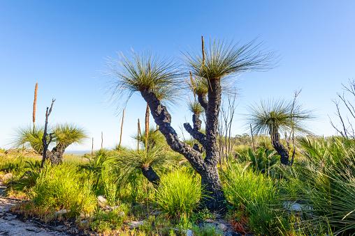 Durability「Grass Trees, D'Entrecasteaux National Park, Western Australia, Australia.」:スマホ壁紙(1)