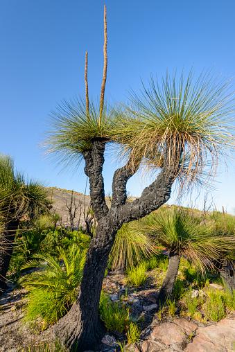 Durability「Grass Trees, D'Entrecasteaux National Park, Western Australia, Australia.」:スマホ壁紙(0)