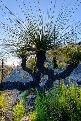 Durability「Grass Trees, D'Entrecasteaux National Park, Western Australia, Australia.」:スマホ壁紙(7)