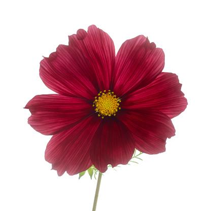 Sensory Perception「Dark red cosmos flower on white.」:スマホ壁紙(7)