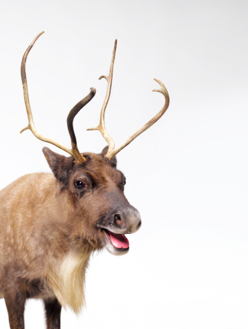 reindeer「Reindeer with tongue out」:スマホ壁紙(12)
